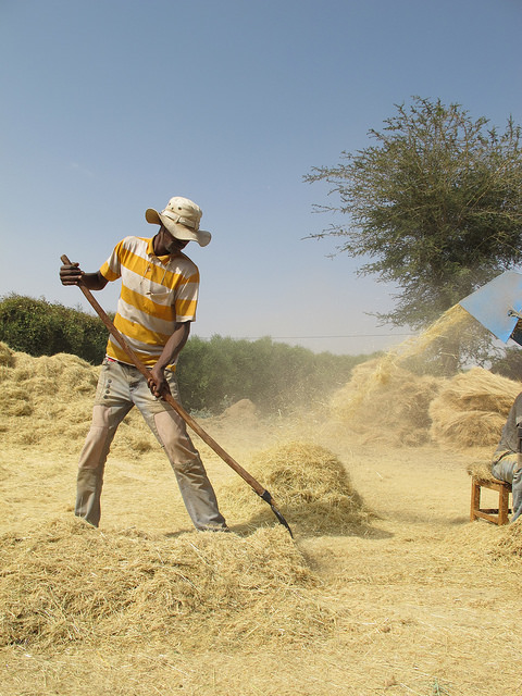 Harvesting Teff in Ethiopia